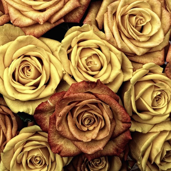 roses_flower_love