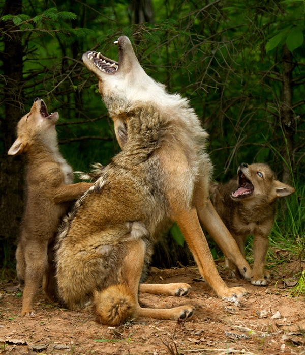 howling-lesson