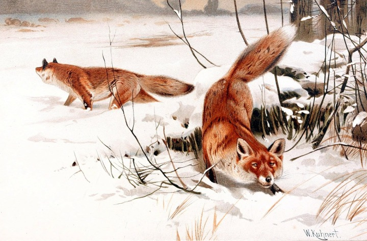 red-foxes-62941_1280