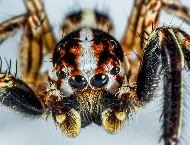 jumping-spider-300444_1280