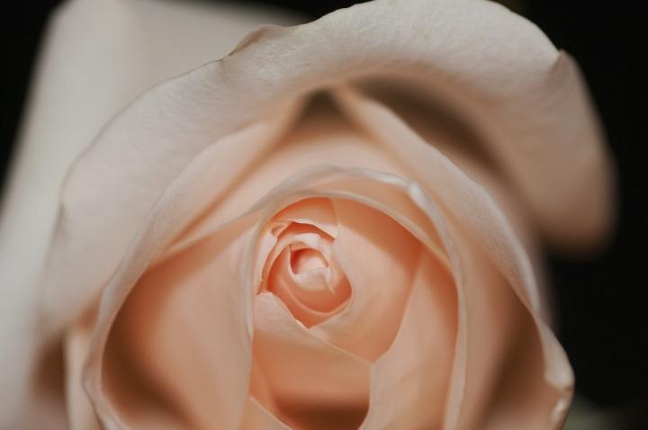 rose-690096_1280