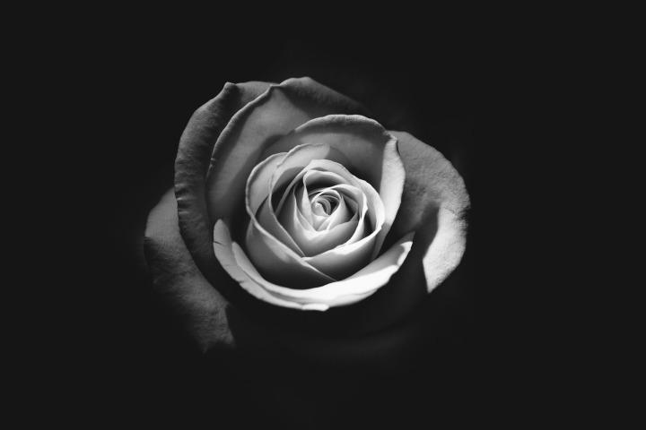 rose-1245972_1920
