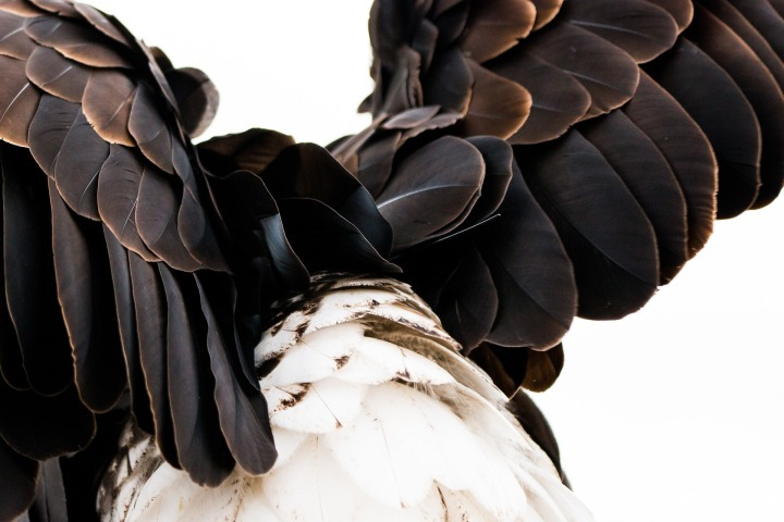 plumage-1728702_1920