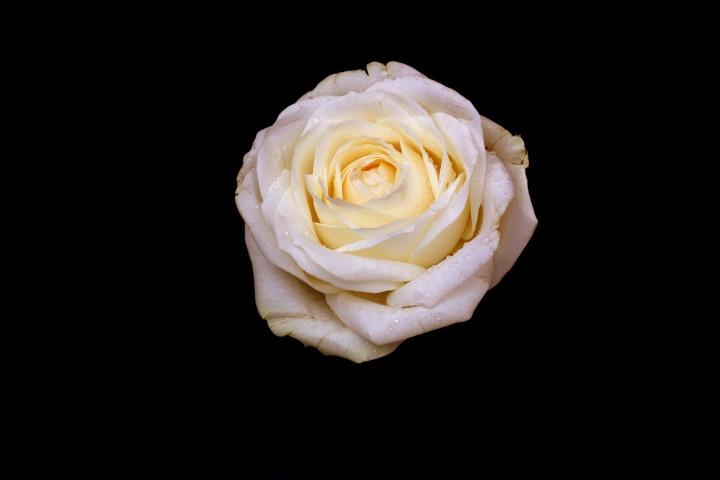 rose-1542727_1920