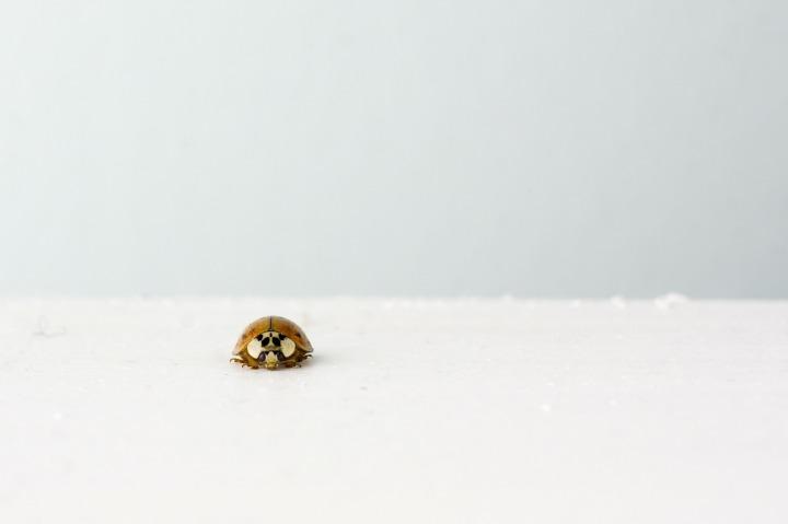 ladybeetle-238517_1920