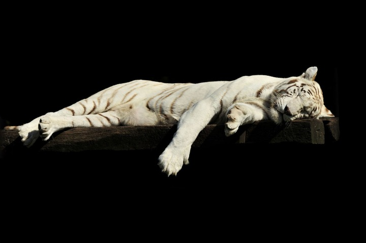 tiger-1285229_1920