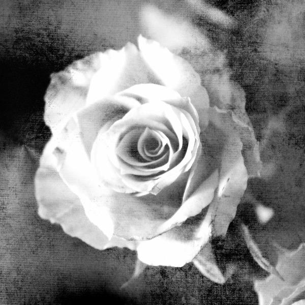 rose-1232790_1920