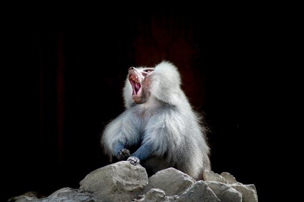 baboon-2525191_1920