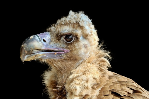 black-vulture-2946981_1920