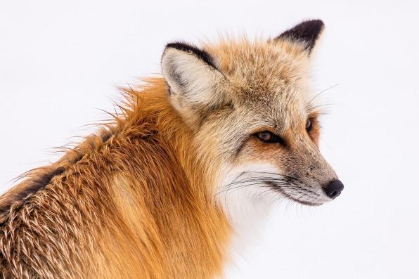 red-fox-2230731_1920