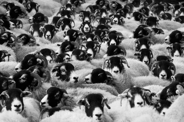 sheep-17482_1920