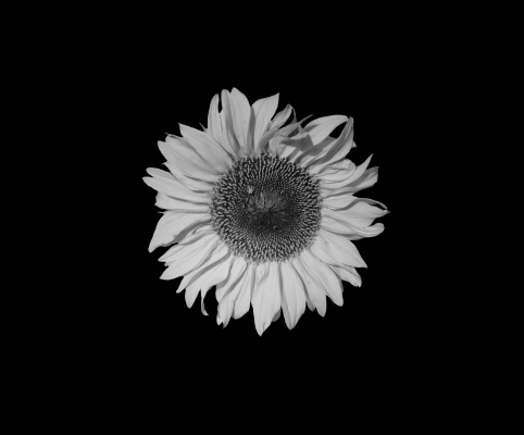 sunflower-1278729_1920
